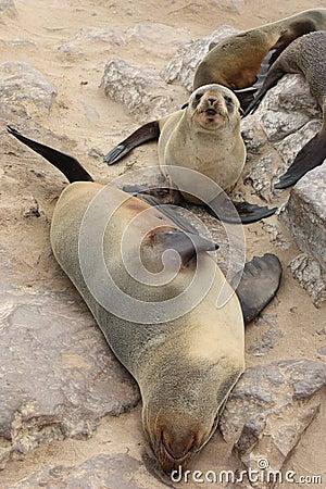 Brown Fur Seals (Arctocephalus pusillus)