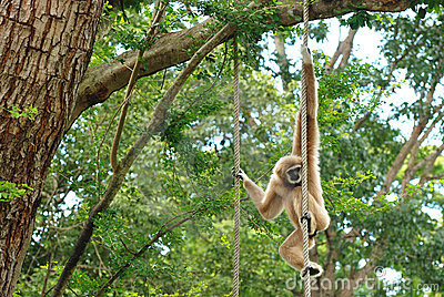 The brown gibbon