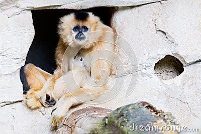 Brown gibbon