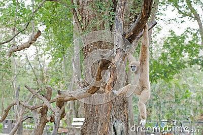 Brown gibbon hanging on tree.