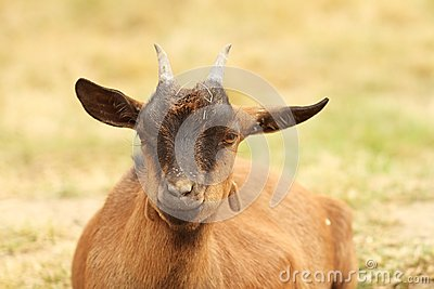 Brown goat laying down