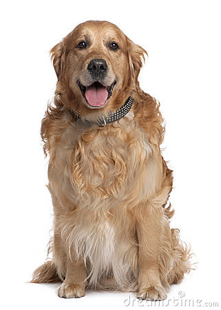 Brown Golden Retriever panting (7 years old)