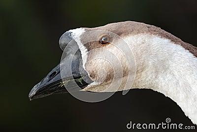Brown goose