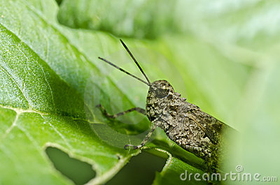 Brown grasshopper in green nature