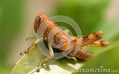 Brown Grasshopper Insect Garden Pest