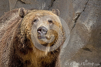 Brown Grizzly Bear Facing Forward
