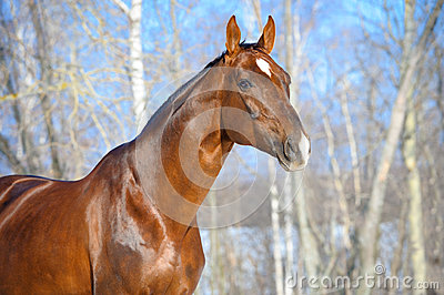 Brown Hanoverian horse stallion portrait