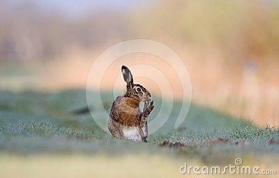 Brown hare cleaning it s toes