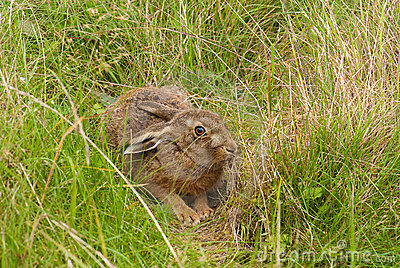 Brown Hare in its form
