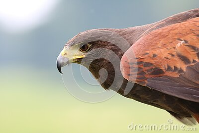 Brown Hawk On Focus Photo Free Public Domain Cc0 Image