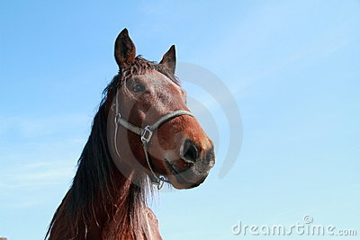 Brown head of a horse