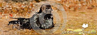 Brown Headed Cowbird