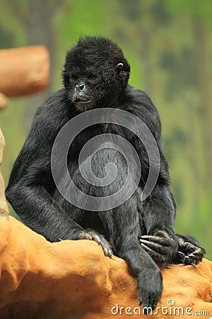Brown-headed spider monkey