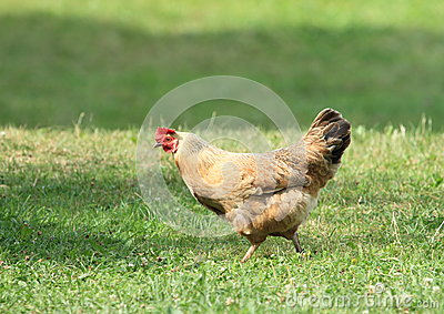 Brown hen