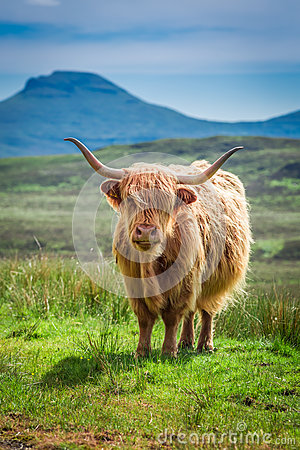 Free Brown Highland Cow In Scotland, UK Stock Photography - 78710582