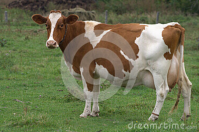 Brown holstein cow in farmers field