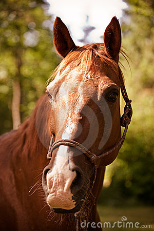 Brown horse