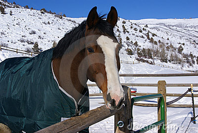 Brown horse with blue blanket