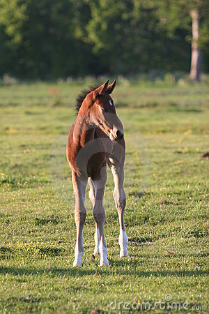 Brown horse foal in field