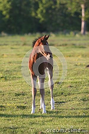 Brown horse foal in field