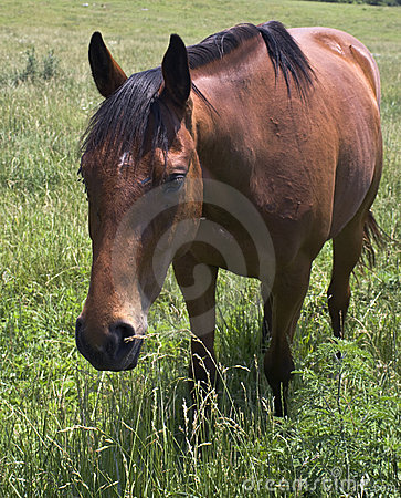 Brown horse in green field