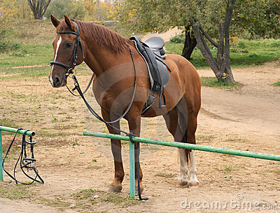 Brown horse in harness outdoor