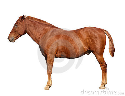Brown horse isolated
