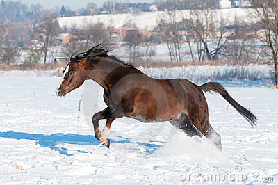 Brown horse play in winter