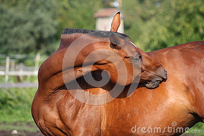 Brown horse scratching itself on the pasture