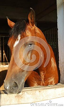 Brown horse stallion in the farm
