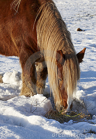 Brown horse in wintertime