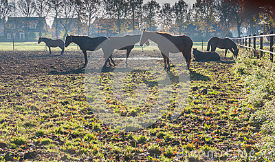 Brown horses at dawn