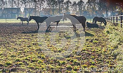 Brown horses at dawn