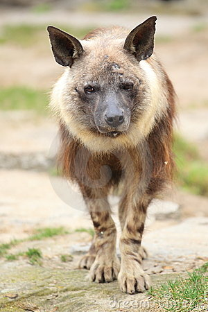 Free Brown Hyena Stock Photography - 24005122