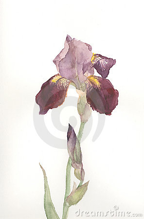 Free Brown Iris Flower Watercolor Drawing Stock Photography - 4083962