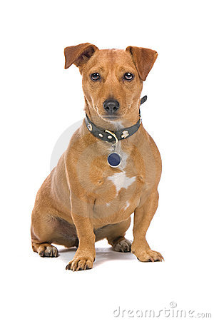 Closeup of brown Jack Russel Terrier dog isolated on white background.