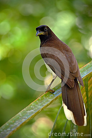 Free Brown Jay, Cyanocorax Morio, Bird From Green Costa Rica Forest, In The Tree Habitat Royalty Free Stock Photos - 70944638