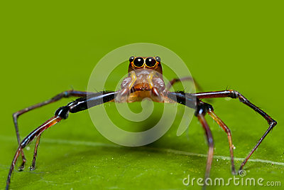 Brown jumper spider