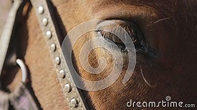 Brown koń z osiadłym okiem, nicielnicą i uzdą robić paski, rzemienni i kruszcowi jest relaksującym outside zbiory