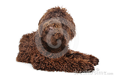 Brown Labradoodle