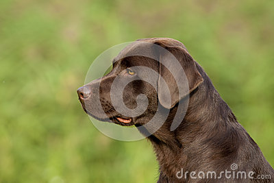 Brown Labrador Retriever Female