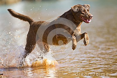 Brown labrador retriever jumps in the water