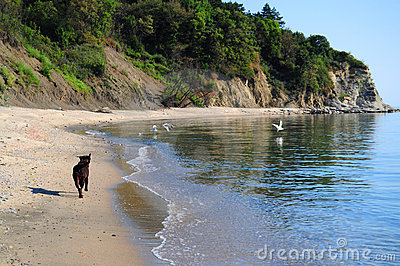 Brown labrador running on the beach