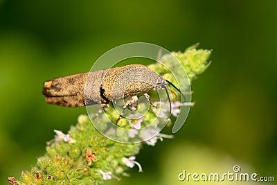 Brown leaf bug