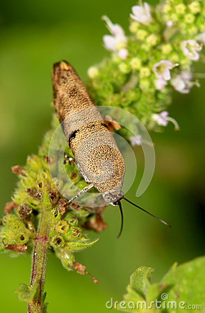 Brown leaf bug