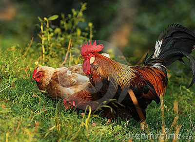 Brown Leghorn hens and rooster