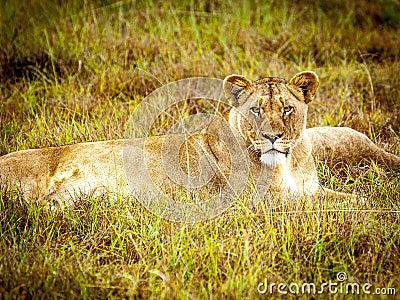 Brown Lioness Free Public Domain Cc0 Image