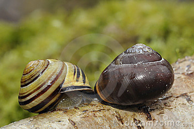Brown-Lipped Snail mating