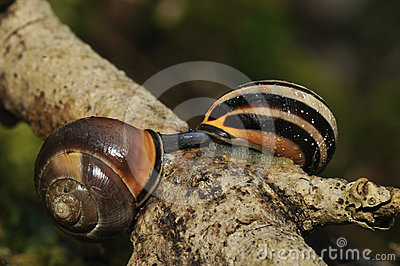 Brown-Lipped Snails mating