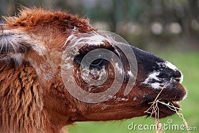 Brown Llama / Alpaca